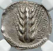 Metapontion In Lucania Archaic Ancient 470bc Old Silver Greek Coin Ngc I88886