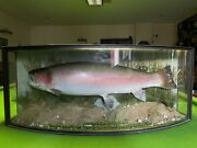 Rainbow Trout 20lb 4ozs Caught By Des Taylor October 1995 Bow Front Case