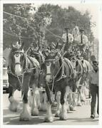 1985 Press Photo Budweiser Clydesdale Horses At Camp Hill Parade - Pna06992