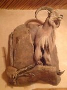 Barbary Sheep With Rock Wall Mount