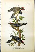 Antique Print Yellow-bellied Sapsucker Male Female Young Birds Warren 1890 19th