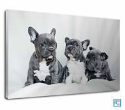 Lovely Grey And White French Bulldog Puppies Canvas Print Wall Art Picture
