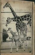 1970 Press Photo Giraffe Family Photo, Baby, Mother And Father-columbus Oh Zoo