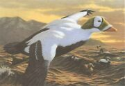 Hautman Spectacled Eider 1992-1993 Federal Duck Stamp Print And Signed Stamp
