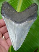 Megalodon Shark Tooth - Xl 5 And 1/16 In. High Quality - Real Fossil