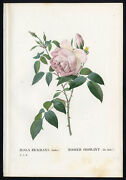 Antique Print-tea Rose Humeand039s Blush China-3 Pl. 57-redoute-thory-1828