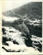 1976 Press Photo Snow Owl Sitting In The Snow In Lapland - Sax32270