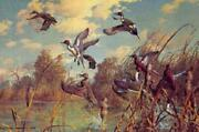 Harry Curieux Adamson Corner Pocket Pintail And Cinnamon Teal A/p On Paper