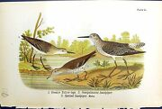 Antique Print Great Yellow-legs Spotted Sandpiper Birds Warren Colour 1890 19th