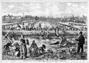 Cranberry Bog Ocean County New Jersey Women Pickers Laborers At Work Cranberry