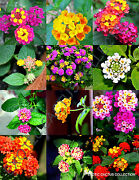 Color Lantana Mix Flowering Shrub Verbenas Butterfly Ham And Eggs Seed 20 Seeds