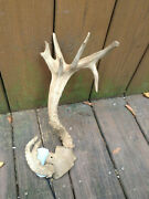 Weird Nontypical W/tail Deer Antlers/ Drop Tine Lodge Taxidermy Decor Y O Ranch