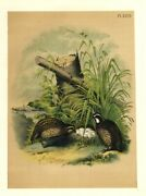 Upland Game Birds American Quail Or Partridge Male And Female Care For Nest Eggs