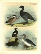 Brant Goose Ruddy Duck Sea Pigeon Red-throated Diver American Black Scoter Duck