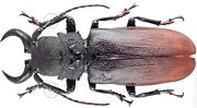 Insect - Prioninae Gnathonyx Piceipennis - W.papua - Male 68mm ...
