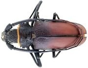 Insect - Prioninae Hoplideres Sp. - South Madagascar - Male 78mm ...