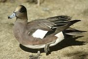 American Widgeon Taxidermy / Decoy Carving Reference Photo Cd
