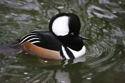 Hooded Merganser Taxidermy / Decoy Carving Reference Photo Cd