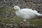 Lesser Snow Goose Taxidermy / Decoy Carving Reference Photo Cd