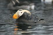 Tufted Puffin Taxidermy / Decoy Carving Reference Photo Cd
