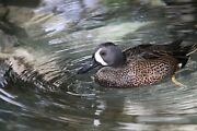 Blue Winged Teal Taxidermy / Decoy Carving Reference Photo Cd