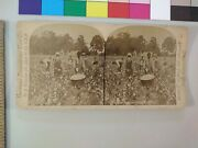 Cotton Pickers African American Black Americana Stereoview Photo Cdii