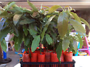 Hass Avocado Tree Andndash Grafted - Live Tree - Grafted