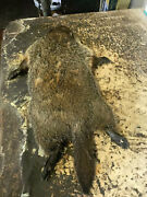 Cute Little 1/2 Grown Ground Hog / Woodchuck Preped Skin For A Full Taxidermy