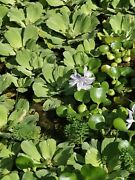 Water Hyacinths And Water Lettuce Bundle Floating Aquatic Pond Plants