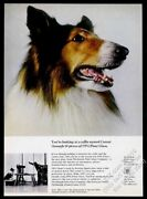 1965 Collie Dog Great Color Photo Ppg Pittsburgh Plate Glass Vintage Print Ad
