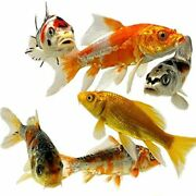 Koi Live Butterfly Fin And Standard Fish Assorted Ndk Lot Usa Born Free Shipping