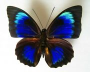 Real Framed Butterfly Rare Hybrid Male Special Colors In Riker Display 555