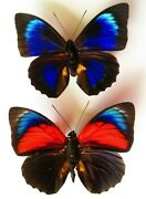 Real Framed Butterfly 2 Rare Hybrid Male Special Colors In Riker Display