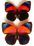 Real Framed Butterfly Rare Hybrid Male Female Special Colors In Riker Displayyy