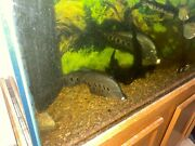 2 Clown Knife Fish 10 - 12 And Tiger Shovelnose Catfish Farm Raised For Sale