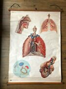 Vintage German Roll Down Wall Chart - Human Anatomy Of The Lung