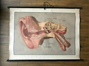 Rare Antique German Roll Down Wall Chart - Human Anatomy Of The Ear.