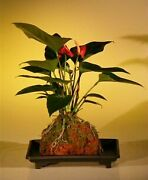 Flowering Red Anthurium In Hawaiian Lava Rock Bonsai 3 Years Old, 9tall