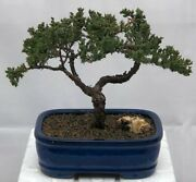 Grown Juniper Bonsai Tree Traditional Evergreen Outdoor 15 Years Old 9 Tall