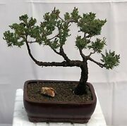 Long Lived Juniper Bonsai Tree Hardy Trained Style 15 Years Old 10 Tall