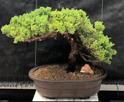Potted In A Mica Container Juniper Bonsai Tree 19 Years Old 13 Tall Evergreen
