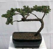 15 Y.o Juniper Bonsai Tree 7 Black Rectangle Container Trained 10 Tall