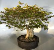 Japanese Maple Bonsai Tree Root Over Rock Deciduous Outdoor 29 Yo 24 Tall