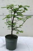 Redwood Pre Bonsai Tree Large Outdoor Deciduous 5 Years Old 10 Tall
