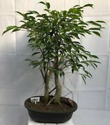 Ficus Bonsai Tree Oriental Indoor Evergreen Trained 23 Years Old 21 Tall