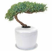 Juniper Bonsai Tree Traditional Windswept And Porcelain Ceramic Cremation Urn+tray