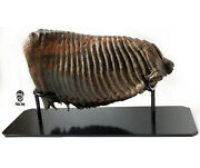 A Huge Tooth Of A Woolly Mammoth On A Metal Stand 5 Kg 450 G.
