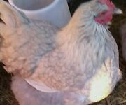 6 Lavender Laced Orpington Hatching Eggs