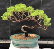 Hardy Juniper Bonsai Tree 18 Years Old 13 Tall Evergreen+ceramic Container