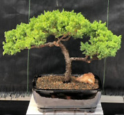 Trained Juniper Bonsai Tree 14 Years Old 12 Tall+rectangle Ceramic Container